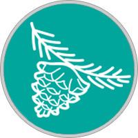 Keltisches Baumhoroskop Kiefer